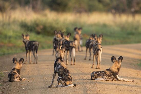 African Wild Dogs (Lycaon Pictus), Madikwe Game Reserve, North West Province, South Africa, Africa-Ann and Steve Toon-Photographic Print