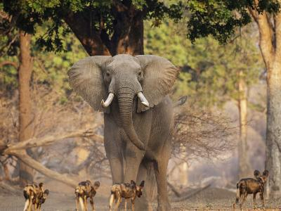 African Wild Dogs (Lycaon Pictus) Passinginfront Of Large African Elephant (Loxodonta Africana)-Tony Heald-Photographic Print