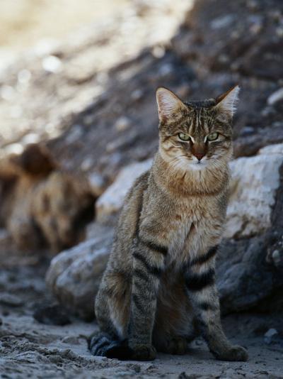 African Wildcat-Nicole Duplaix-Photographic Print