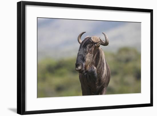 African Wildebeest 01-Bob Langrish-Framed Photographic Print