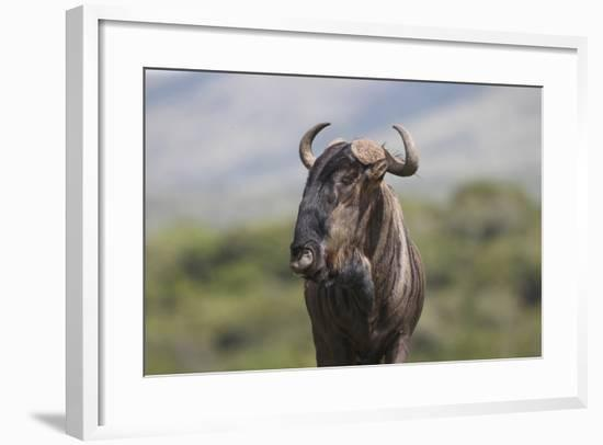 African Wildebeest 01-Bob Langrish-Framed Photographic Print