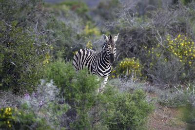 African Zebras 006-Bob Langrish-Photographic Print