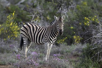 African Zebras 008-Bob Langrish-Photographic Print