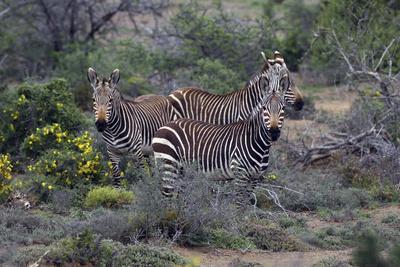https://imgc.artprintimages.com/img/print/african-zebras-010_u-l-q12tj2y0.jpg?p=0