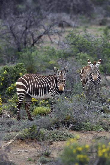 African Zebras 011-Bob Langrish-Photographic Print
