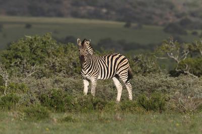 African Zebras 019-Bob Langrish-Photographic Print