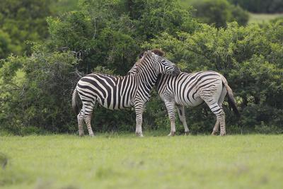 https://imgc.artprintimages.com/img/print/african-zebras-023_u-l-q12tj430.jpg?p=0