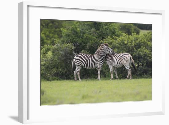 African Zebras 023-Bob Langrish-Framed Photographic Print