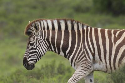 https://imgc.artprintimages.com/img/print/african-zebras-025_u-l-q12tj440.jpg?p=0
