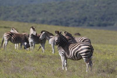 African Zebras 031-Bob Langrish-Photographic Print