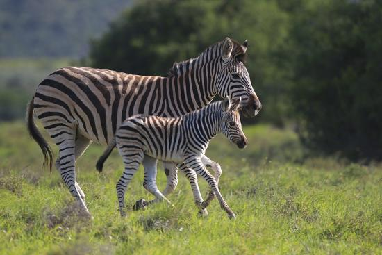 African Zebras 037-Bob Langrish-Photographic Print