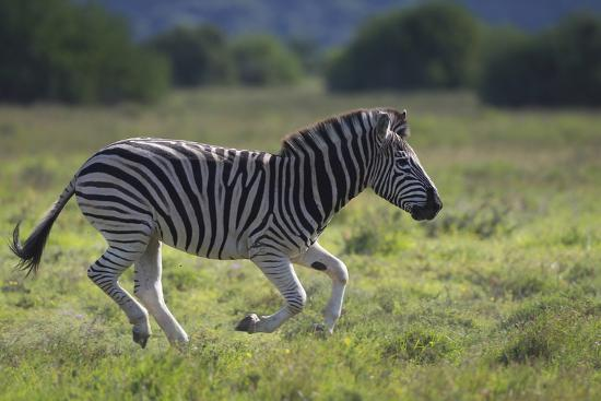 African Zebras 041-Bob Langrish-Photographic Print