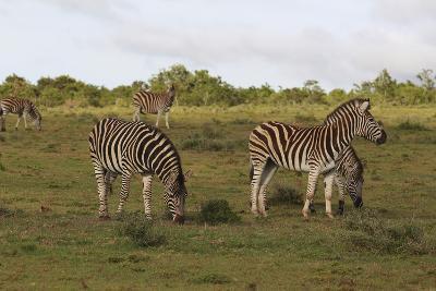 African Zebras 062-Bob Langrish-Photographic Print