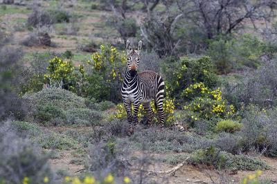 African Zebras 066-Bob Langrish-Photographic Print