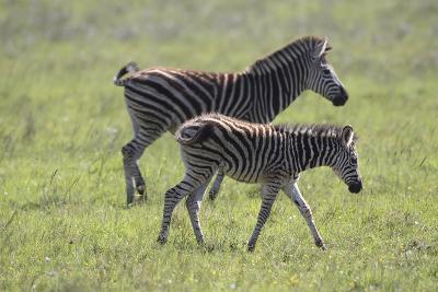 African Zebras 068-Bob Langrish-Photographic Print