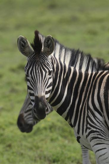 African Zebras 073-Bob Langrish-Photographic Print