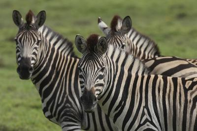 African Zebras 074-Bob Langrish-Photographic Print