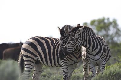 African Zebras 076-Bob Langrish-Photographic Print