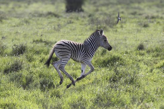 African Zebras 100-Bob Langrish-Photographic Print