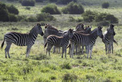 African Zebras 101-Bob Langrish-Photographic Print