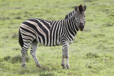 African Zebras 104-Bob Langrish-Photographic Print