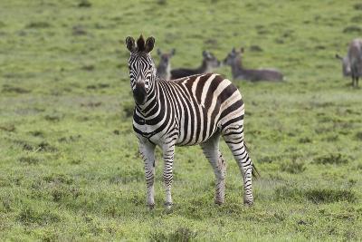 African Zebras 106-Bob Langrish-Photographic Print