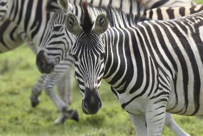 African Zebras 107-Bob Langrish-Photographic Print