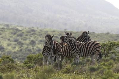 African Zebras 112-Bob Langrish-Photographic Print