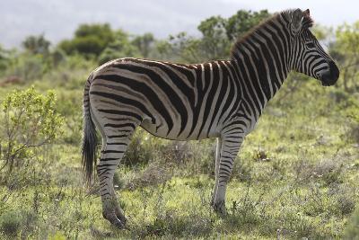 African Zebras 113-Bob Langrish-Photographic Print