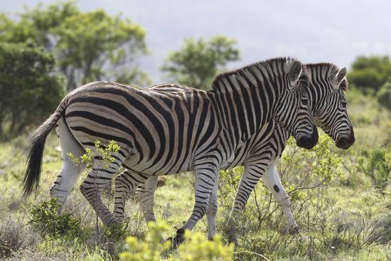 African Zebras 115-Bob Langrish-Photographic Print