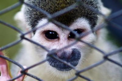 https://imgc.artprintimages.com/img/print/after-being-trapped-by-poachers-and-sold-as-a-pet-a-squirrel-monkey-sits-in-a-pet-carrier_u-l-pok9ge0.jpg?p=0