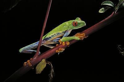 Agalychnis Callidryas (Red-Eyed Treefrog)-Paul Starosta-Photographic Print