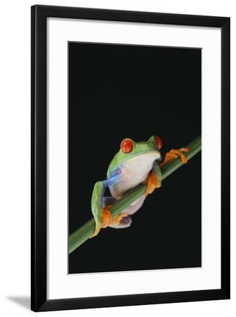 Agalychnis Callidryas-DLILLC-Framed Photographic Print