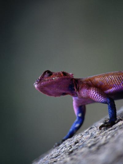 Agama Lizard (Agama Agama), Serengeti National Park, Arusha, Tanzania-Lawrence Worcester-Photographic Print