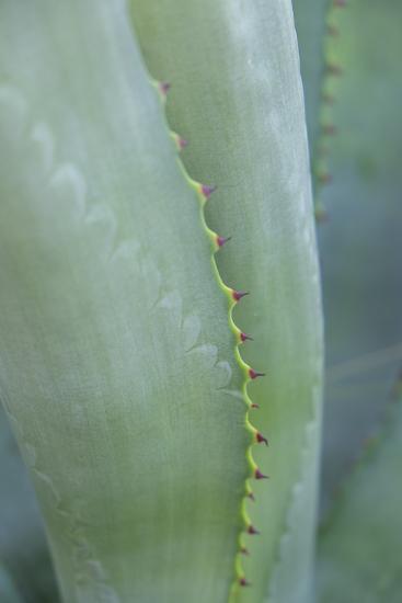 Agave cactus, Austin, Texas, Usa-Lisa S^ Engelbrecht-Premium Photographic Print