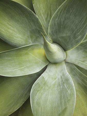 https://imgc.artprintimages.com/img/print/agave-cactus-longwood-gardens-pennsylvania-usa_u-l-pxqf0d0.jpg?p=0