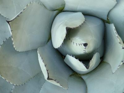 Agave Detail II-Alison Jerry-Photographic Print