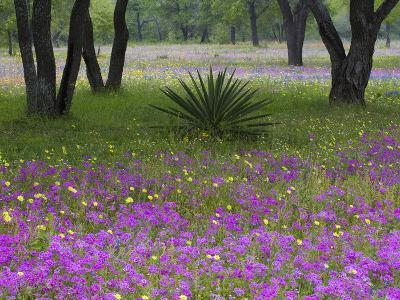 Agave in Field of Texas Blue Bonnets, Phlox and Oak Trees, Devine, Texas, USA-Darrell Gulin-Photographic Print