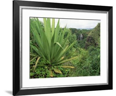 Agave Plant with Opeka Falls in the Background, Kauai, Hawaii-Rolf Nussbaumer-Framed Photographic Print