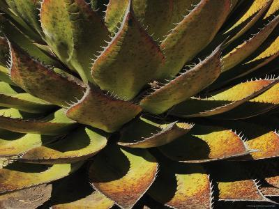 Agave Species High on a Mountain Ridge, Mexico-George Grall-Photographic Print