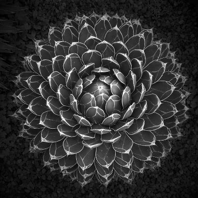 Agave Victoria-Moises Levy-Photographic Print