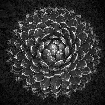 https://imgc.artprintimages.com/img/print/agave-victoria_u-l-q10pdo50.jpg?p=0