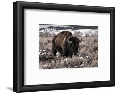 Aged Bison in Teton Nat. Park