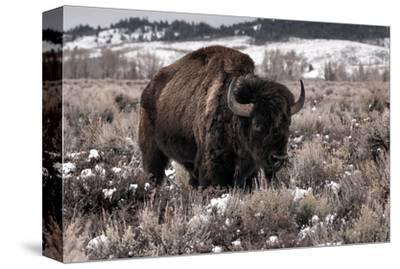 Aged Bison in Teton Nat. Park