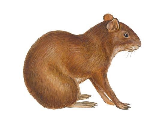 Agouti (Dasyprocta Aguti), Mammals Art Print by Encyclopaedia Britannica    Art com