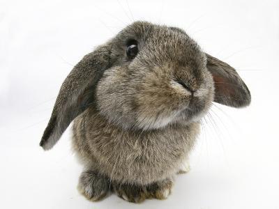 Agouti Lop Rabbit-Mark Taylor-Photographic Print