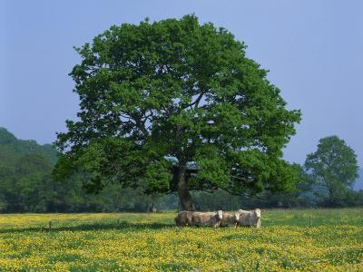 Agricultural Landscape of Cows Beneath an Oak Tree in a Field of Buttercups in England, UK--Photographic Print