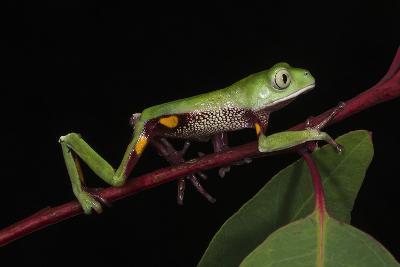Agua Rica Leaf Frog, Amazon, Ecuador-Pete Oxford-Photographic Print