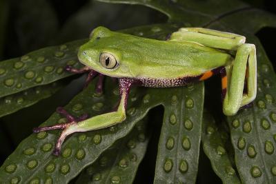 Agua Rica Leaf Frog, Ecuador-Pete Oxford-Photographic Print