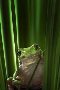 Green Frog by Ahmad Gafuri